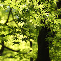 Photos: 春紅葉の葉っぱ!1304271