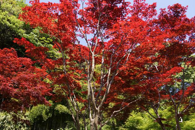 紅葉の大きな木!130427