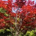 写真: 紅葉の大きな木!130427