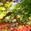 写真: 春紅葉!130427s