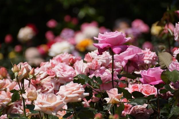ピンクのバラがいっぱい咲く!130518