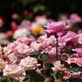 写真: ピンクのバラがいっぱい咲く!130518