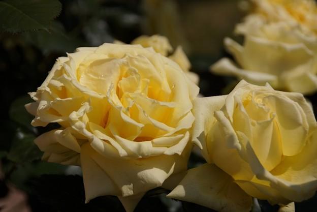 レモンイエロ-のバラ咲く!130518