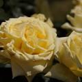 写真: レモンイエロ-のバラ咲く!130518