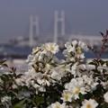 Photos: バラ模様のベイブリッジ!130525