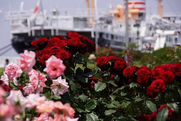 写真: 赤いバラと氷川丸!130525