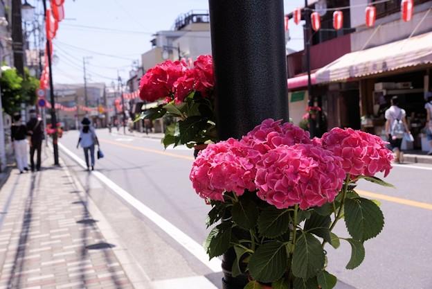 由比ヶ浜大通りの紫陽花!130531