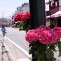Photos: 由比ヶ浜大通りの紫陽花!130531