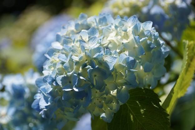 涼しげな紫陽花!130531