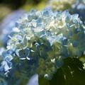 写真: 涼しげな紫陽花!130531