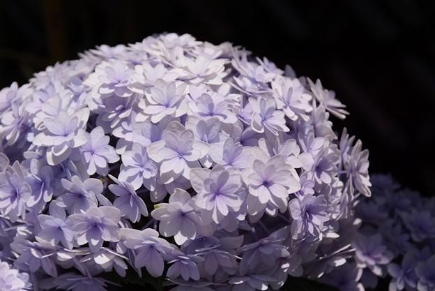 八重咲の紫陽花、長谷!130531