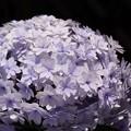 Photos: 八重咲の紫陽花、長谷!130531