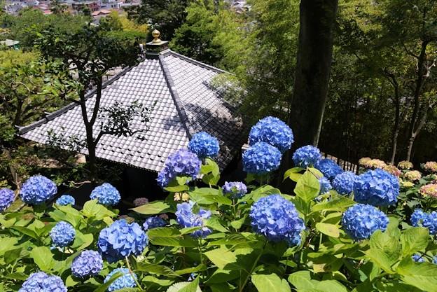 長谷寺の紫陽花!130531