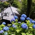 Photos: 長谷寺の紫陽花!130531