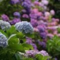 Photos: 極楽寺の紫陽花2!130615