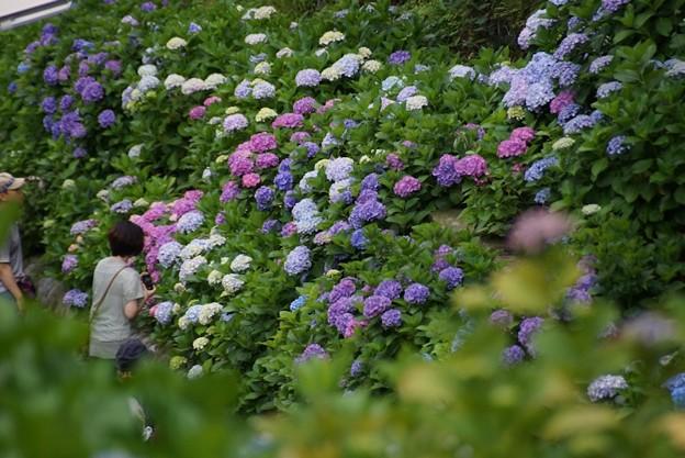 成就院参道の紫陽花!130615