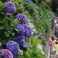 Photos: 成就院の紫陽花参道!130615
