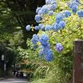 Photos: 極楽寺坂切通しの紫陽花!130615