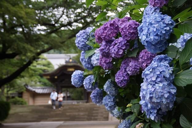 勅使門と紫陽花130622-246