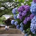 Photos: 勅使門と紫陽花130622-246