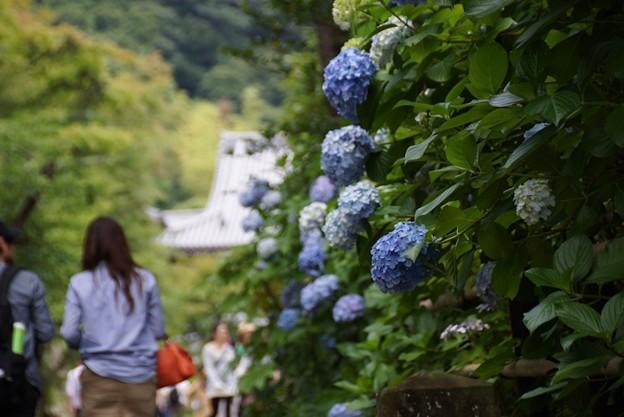 参道の紫陽花130622-203