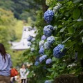 Photos: 参道の紫陽花130622-203