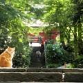 Photos: 妙本寺参道の猫!130629