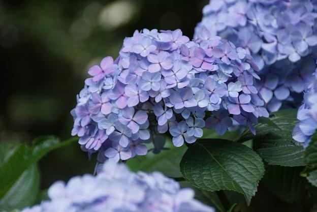 妙本寺の紫陽花!130629