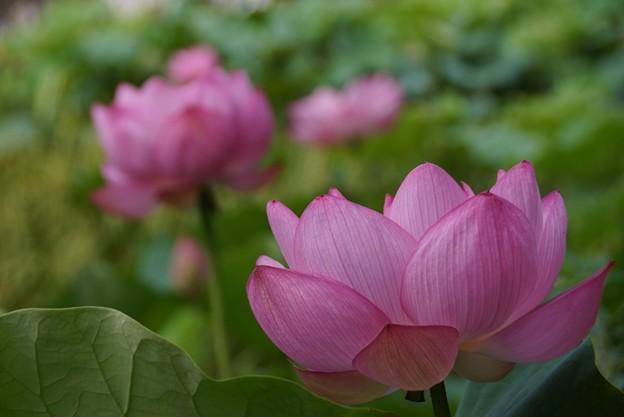 Photos: 蓮の花130720-624