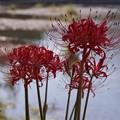 写真: 高麗川に咲く!130921