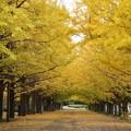 写真: 銀杏並木のトンネル!2013