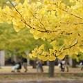 Photos: 銀杏b!131109