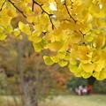 写真: 銀杏の葉っぱ!131109