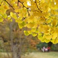 Photos: 銀杏の葉っぱ!131109
