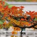 写真: 紅葉の日本庭園131109-531