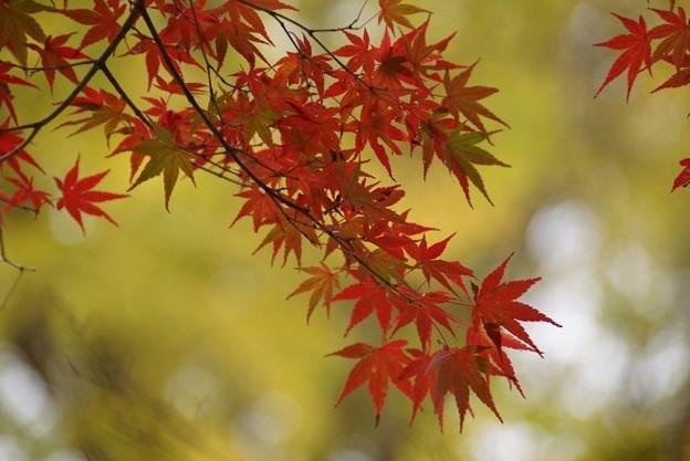写真: 紅葉の姿131109-182