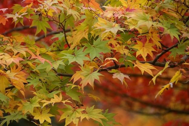 紅葉と黄葉131109-437