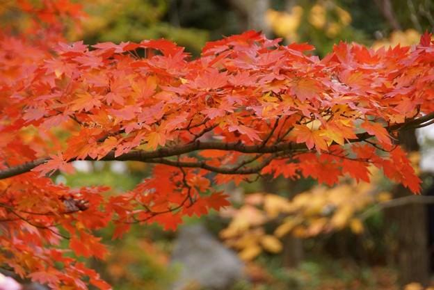 写真: 紅葉のカエデ131109-388
