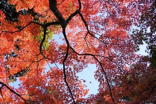 写真: 真赤に染まる円覚寺131123-270