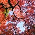 Photos: 真赤に染まる円覚寺131123-270