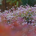写真: 紅葉とヒメツルソバ131123-287