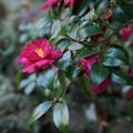 写真: 椿の赤!140118