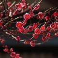 写真: 寒紅梅が咲きはじめ!140118