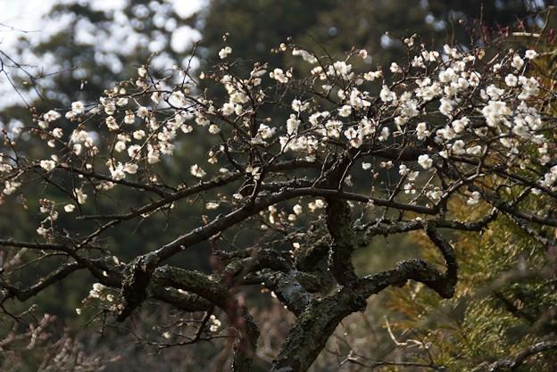 Photos: 冬至梅咲く東慶寺!140201