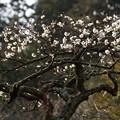 写真: 冬至梅咲く東慶寺!140201