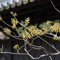 写真: マンサク咲く、東慶寺!140201