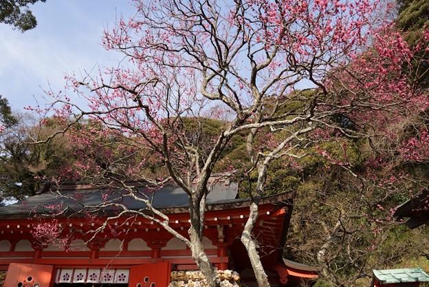 寒紅梅が見頃、荏柄天神社!140201