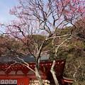 写真: 寒紅梅が見頃、荏柄天神社!140201