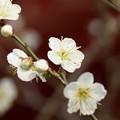 写真: 緑愕梅の白梅!140201