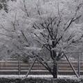 写真: 雪の樹!20140214